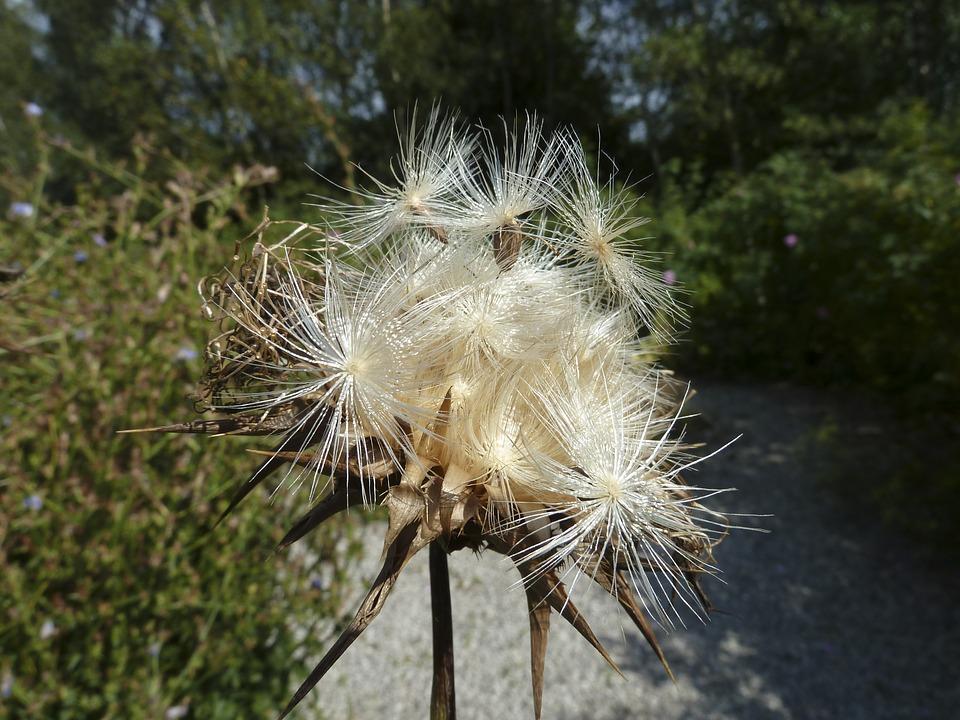 květ bodláku