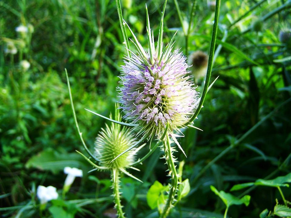 květ ostropestřce na louce